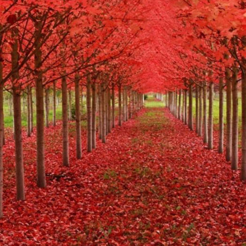 20pcs American Red Maple Tree Acer Rubrum Seeds Pure Bonsai