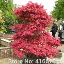 50pcs Red Japanese Maple Seeds Acer Palmatum Dissectum Crimson Queen