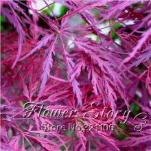 20pcs Japanese Maple Crimson Queen Seed