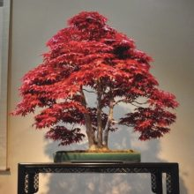 20pcs Red Japanese Maple Palmatum Atropurpureum seeds