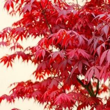 20pcs Red Japanese Maple Acer Palmatum Atropurpureum Seeds