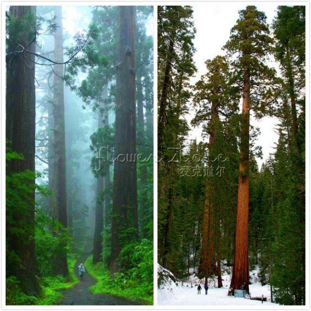 20pcs Giant Sequoia Seeds pendula