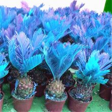10 Pcs Blue Sago Palm Tree Bonsai Seeds