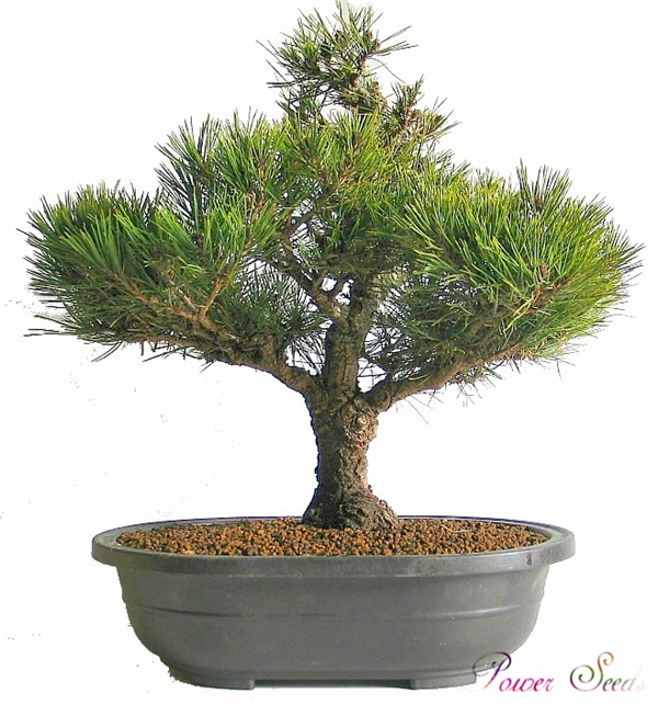 30 Pcs Picea Spruce Tree Seeds