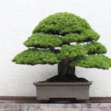 30 Pcs Picea Spruce Tree Seeds