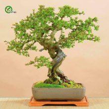 30pcs Hawthorn Crataegus Monogyna Bonsai Tree Seeds