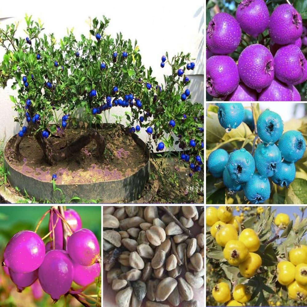 15PCs Crataegus Monogyna Hawthorn Bonsai Fruit Tree Seeds