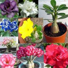 20pcs Desert Rose Flower Bonsai Tree Adenium Obesum Seeds