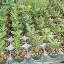 Adenium Obesum Desert Rose Seeds 4 Particles
