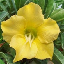 1pcs Yellow Desert Rose Adenium Obesum Bonsai Tree Seeds