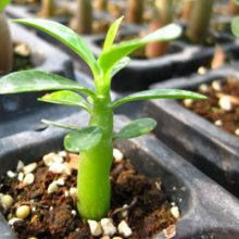 1pcs Red Desert Rose Bonsai Adenium Obesum Tree Seeds
