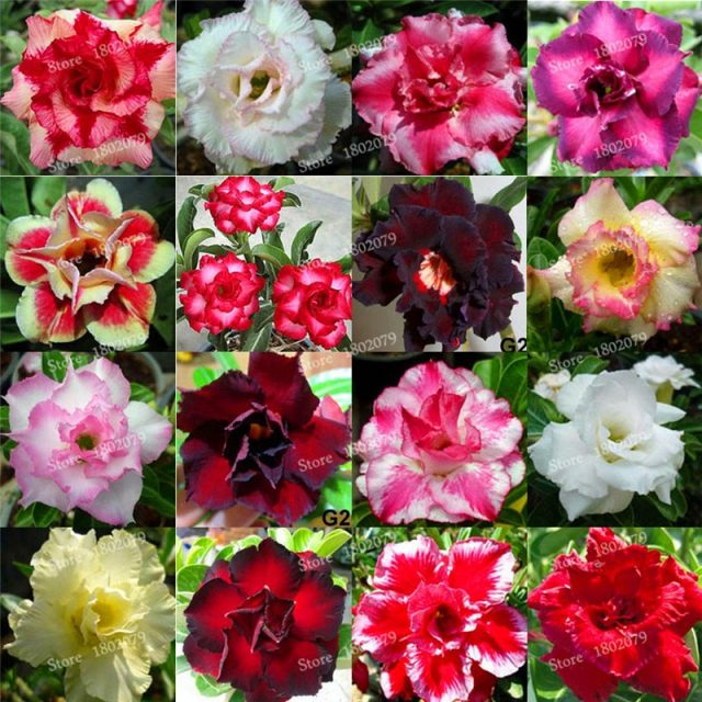 12pcs Adenium Obesum Desert Rose Bonsai Flower Seed