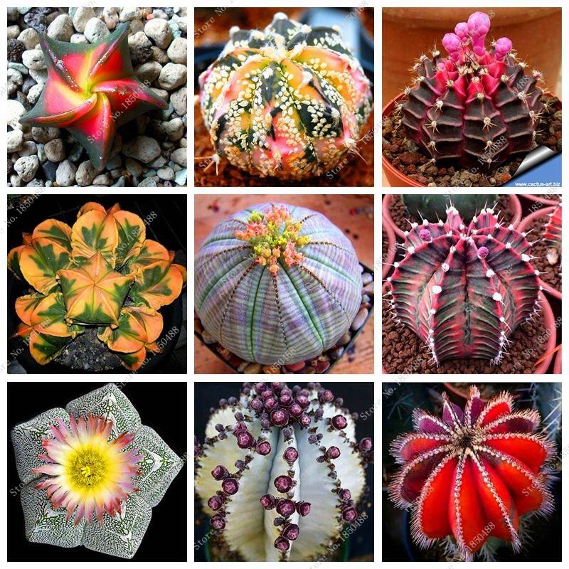 100pcs Mixed Set Mini Polygon Succulents Cactus Seeds
