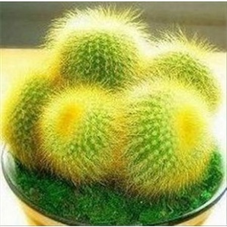 500pcs multi-Colored Flower Echinocactus Cactus Seeds