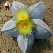 200Pcs Cactus Succulent Organic Ornamental Indoor Seeds