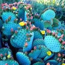 200pcs Cactus Rare Lithops Succulent Seeds