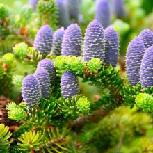 Korean Tree Abies Fir Seeds 30pcs