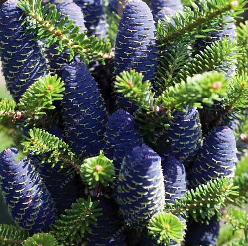 Korean Tree Abies Fir Seeds 50pcs
