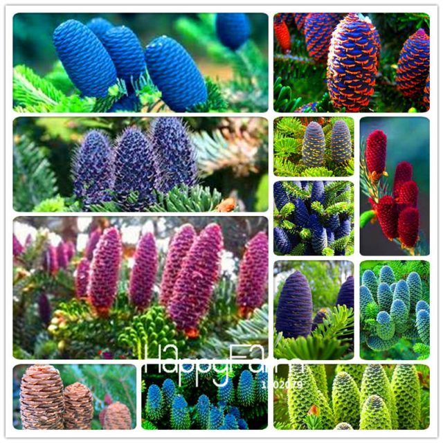 Korean Tree Abies Fir Seeds 100pcs