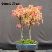 Acer Buergerianum Trident Maple Seeds Tree 30pcs