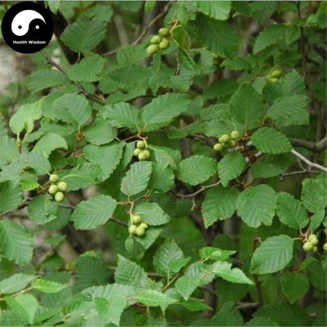 Alnus Cremastogyne Tree Alder Seeds 60pcs