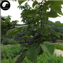 Alnus Cremastogyne Alder Tree Seeds 120pcs