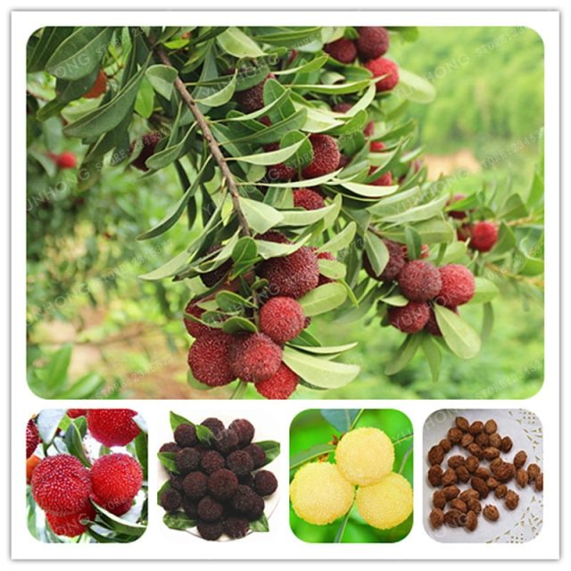 Red Blue Arbutus Fruit Strawberry Tree Seeds 5pcs