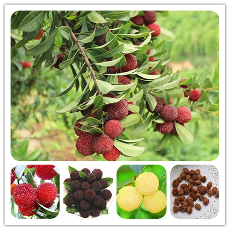 Red Blue Arbutus Fruit Strawberry Tree Seeds 5pcs
