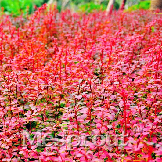 Red Thunbergii Berberis Barberry Seeds Tree 100pcs