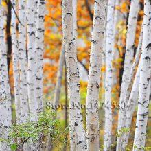 Silver White Betula Betulaceae Hardwood Birch Tree Seeds 30pcs