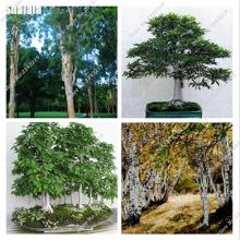 Betula Betulaceae Hardwood White Birch Tree Seeds 50pcs