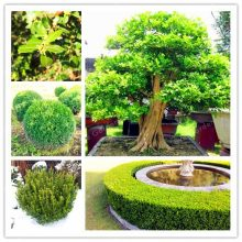 Buxaceae Buxus Chinese Boxwood Seeds 50pcs