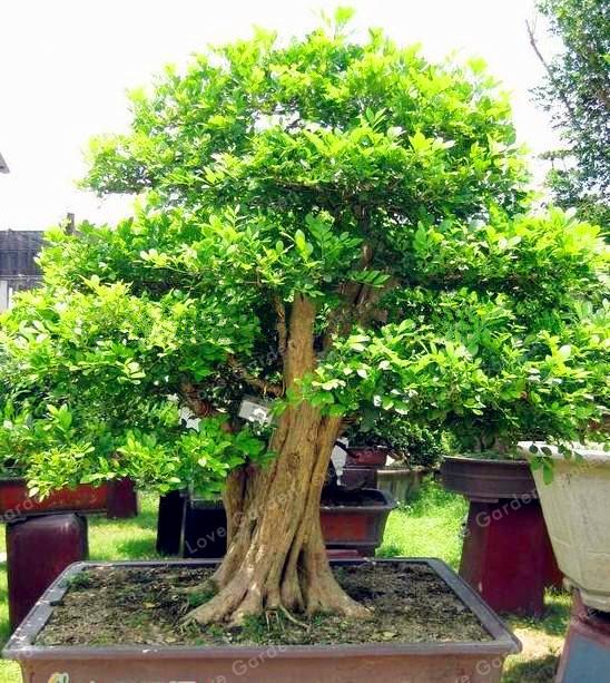 Buxaceae Buxus Chinese Boxwood Seeds 50pcs
