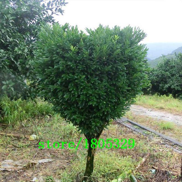 Mini Potted Chinese Boxwood Buxaceae Seeds Buxus Tree Seeds 120 PCS
