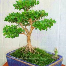 Chinese Buxaceae Boxwood Buxus Seeds 20pcs