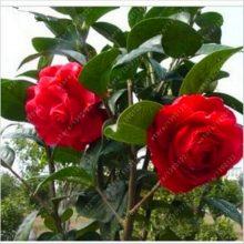 Flower Tree Camellia Seeds 50pcs