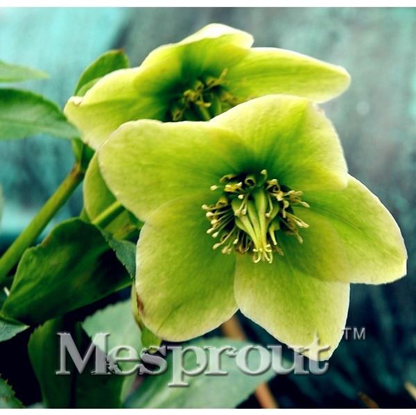 Japanese Japonica Bonsai Camellia Tree Seeds 100pcs