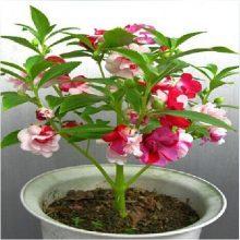 Potted Flower Tree Camellia Japonica Seeds 5pcs
