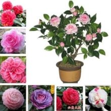 Potted Tree Bonsai Camellia Japonica Seeds 5pcs