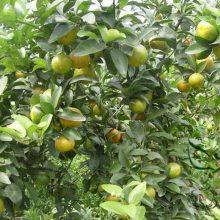 Sweet Sugar Orange Seeds 500pcs 1000pcs