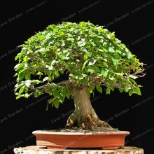 Korean Hornbeam Seeds Carpinus Tree 50 PCS