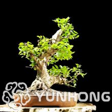 Korean Turczaninowii Carpinus Hornbeam Seeds 10PCS