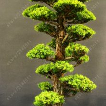 Japanese Cedrus Cedar seeds Semillas 50pcs
