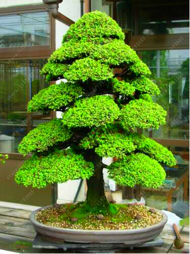 Sacred Japanese Bonsai Cedar Tree Seeds 100Pcs