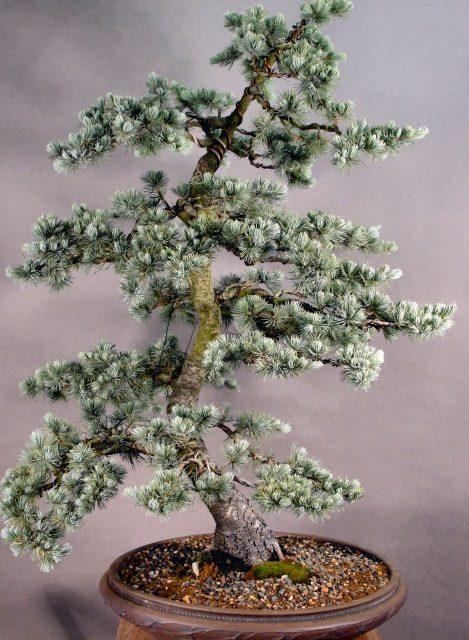 Sacred Japanese Cedar Seeds 10Pcs
