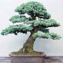 Sacred Japanese Cedar Seeds 10Pcs