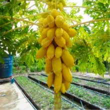 Flowering Japanese Quince SeedsChaenomeles Sinensis Rare Dwarf Fruit 20PCS