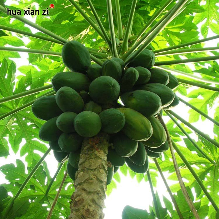 Flowering Quince Seeds Papaya Japonica Chaenomeles Sinensis Speciosa Fruit
