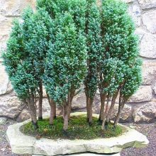 Rare Cypress Seeds Chamaecyparis Cupressus Tree 20pcs