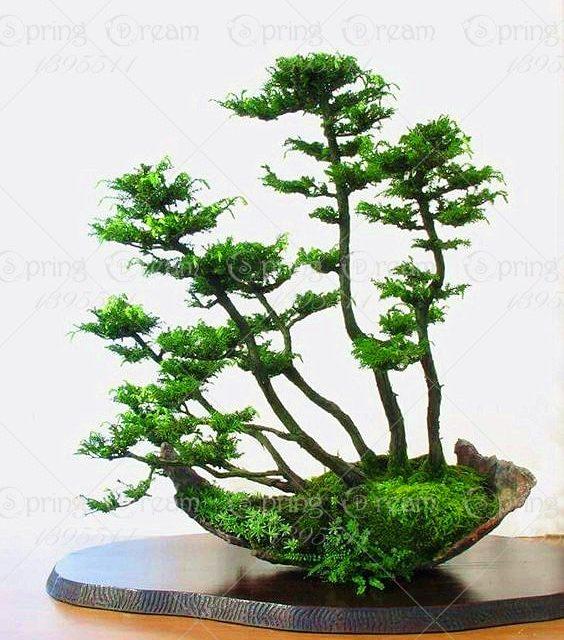 Rare Cypress Seeds Chamaecyparis Cupressus Tree 20pcs
